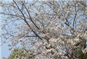 Lên Tây Bắc ăn nộm hoa ban với người Thái
